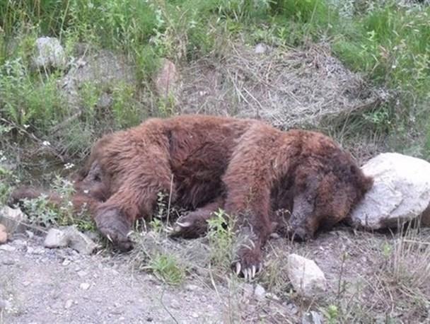 پنجمین خرس دنا قربانی شد/ جزئیات آتش گرفتن یک آمبولانس