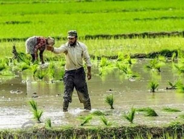 کشت برنج در کهگیلویه ممنوع شد