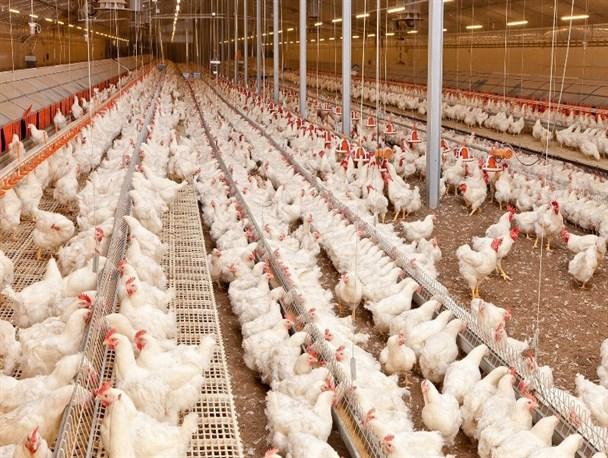 تعطیلی ۱۰ واحد مرغداری در شهرستانهای کهگیلویه، چرام و لنده
